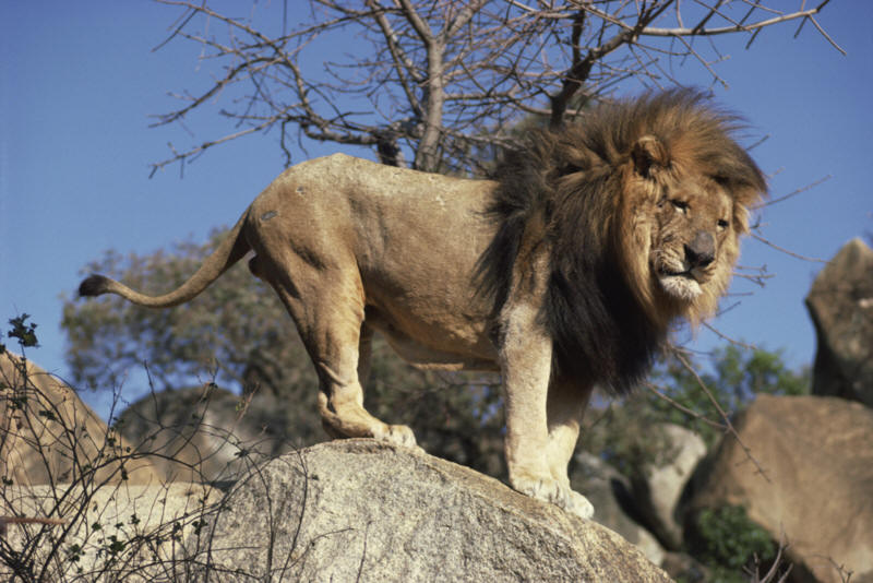 Information about the African Lion