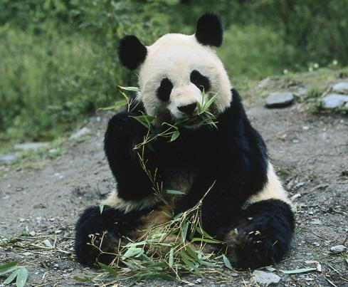 panda bear essays Education index case study analysis of panda bear toys,  panda bear toys, caribou toys and grizzly bear toys  popular essays nokia pricing strategy .