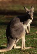 Marsupial Kangaroo