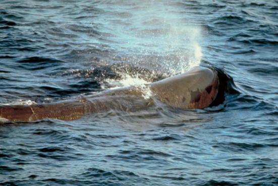 Sperm whale speed
