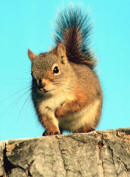 rodent example squirrel