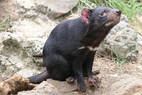 Tasmanian Devil photo by Mike Lehmann, Mike Switzerland