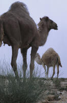 camel example of an ungulate