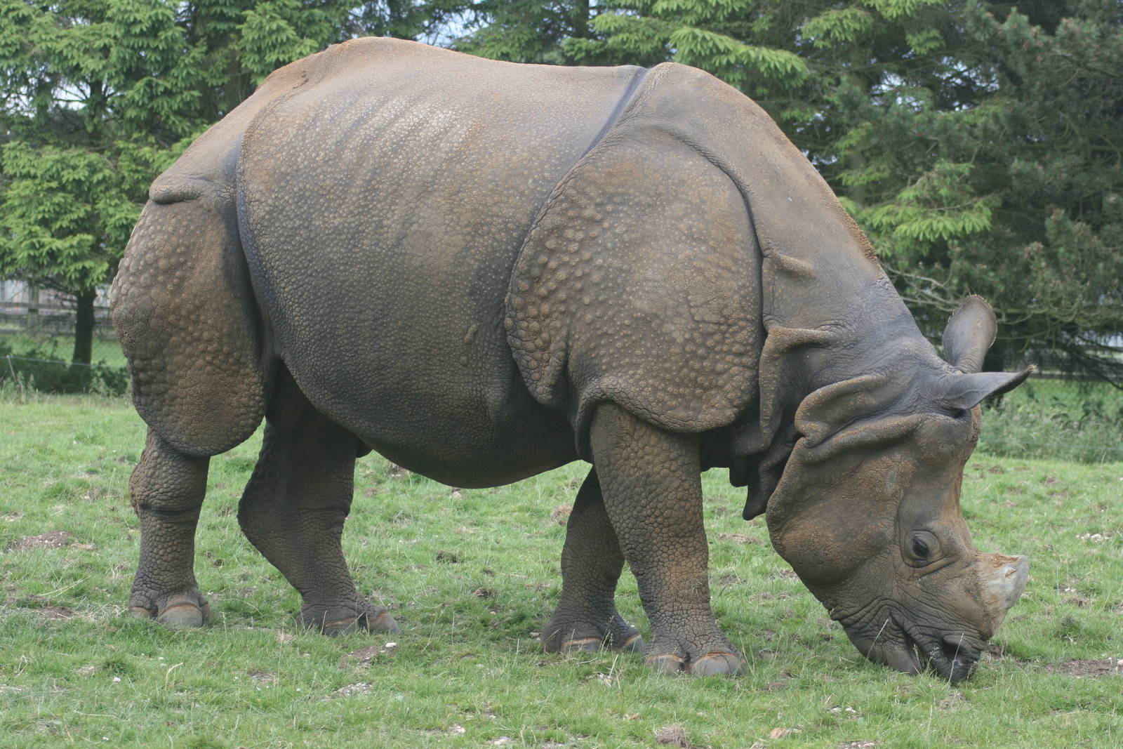 Indian Rhinoceros - Natural History on the Net