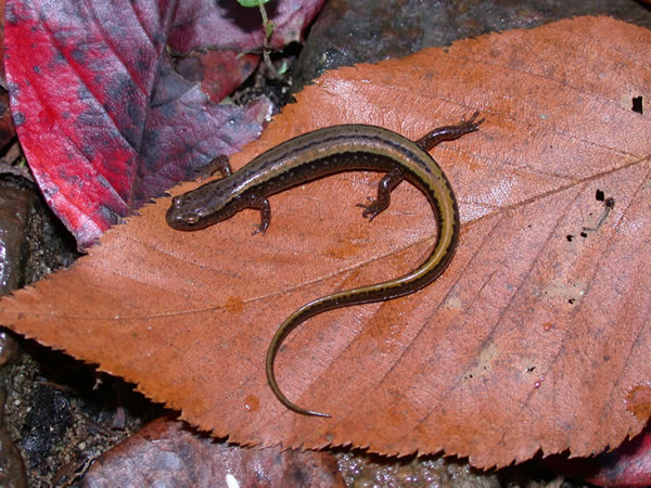 Northern Two-lined Salamander