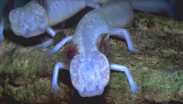Texas Blind Salamander