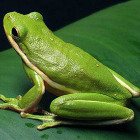 American Green Tree Frog - Natural History on the Net