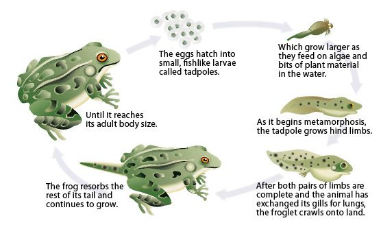 Amphibians – Characteristic Features - Natural History on the Net
