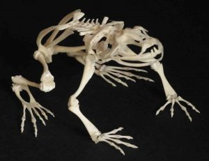 Amphibian Skeleton