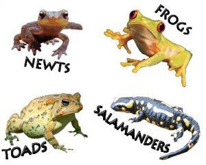 Amphibian Types