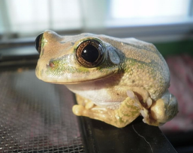 Big Eyed Tree Frog