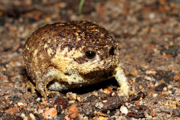 Cape Rain Frog