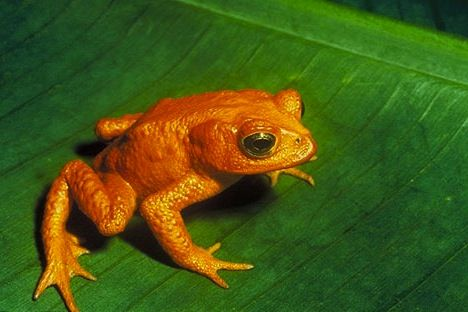 golden toad natural history on the net