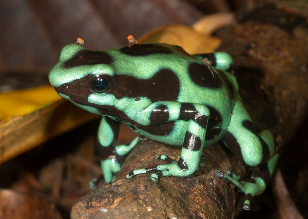 Green and Black Poison Dart Frog - Natural History on the Net