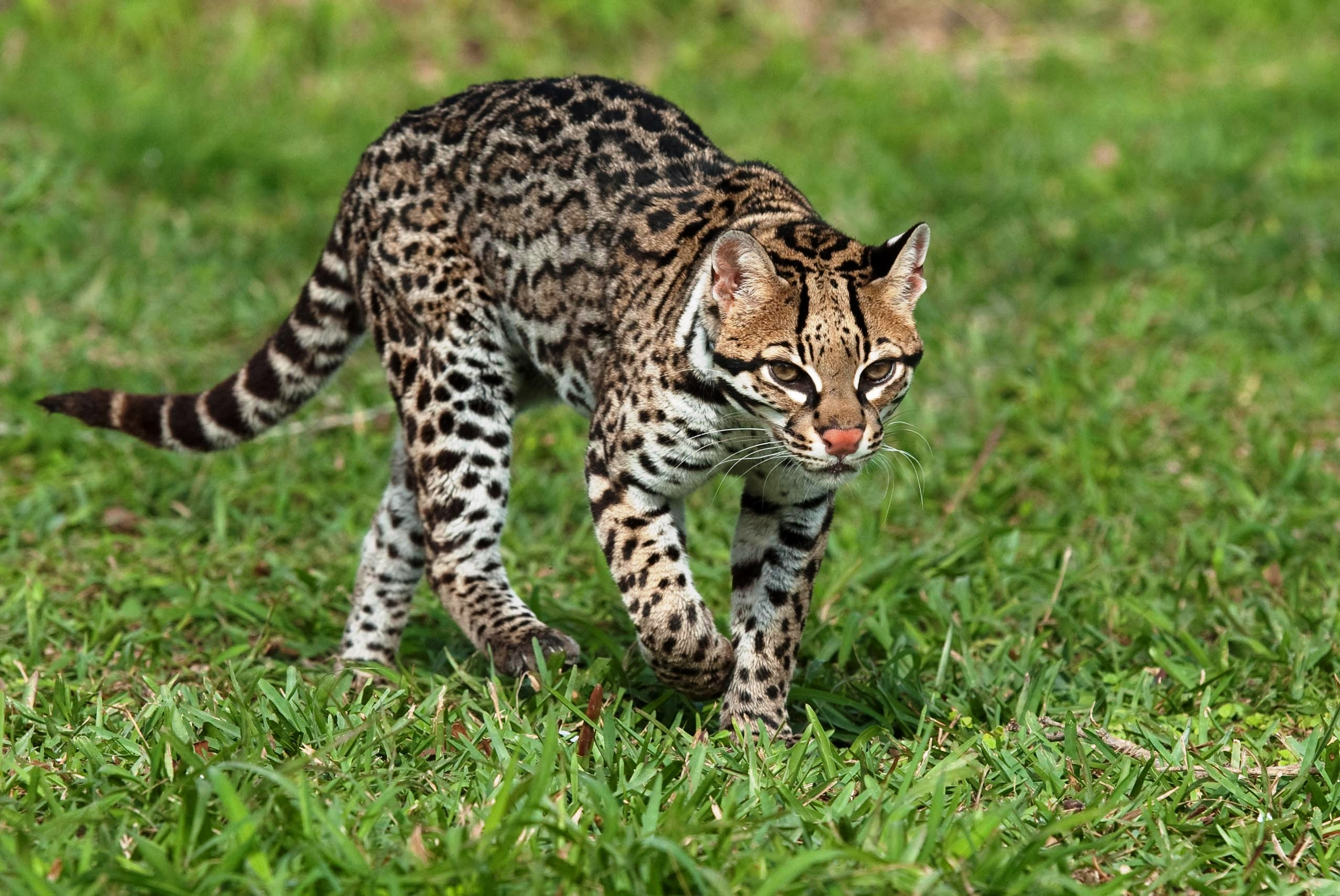 ocelot natural history on the net