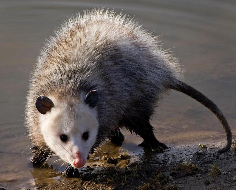 Opossum Natural History On The Net