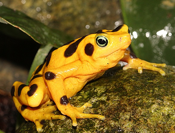 Panamanian Golden Frog Natural History On The Net