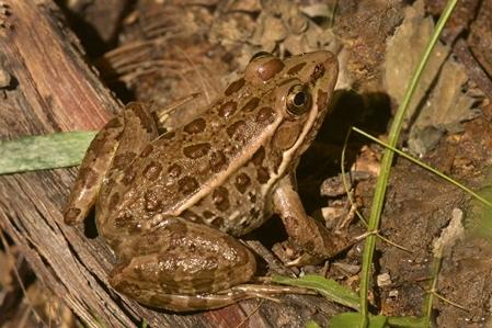 Relict Leopard Frog