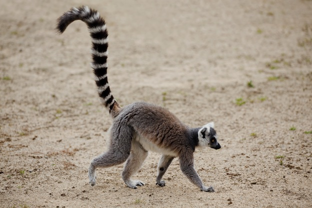 Facts About Ring Tailed Lemurs Habitat