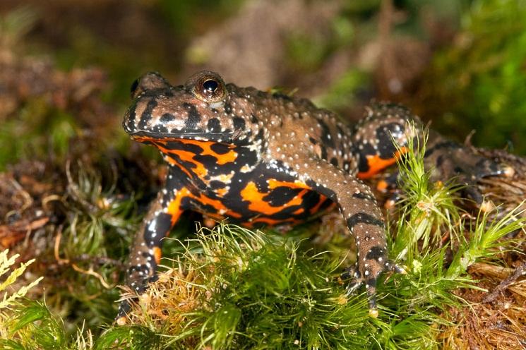 European Fire Bellied Toad