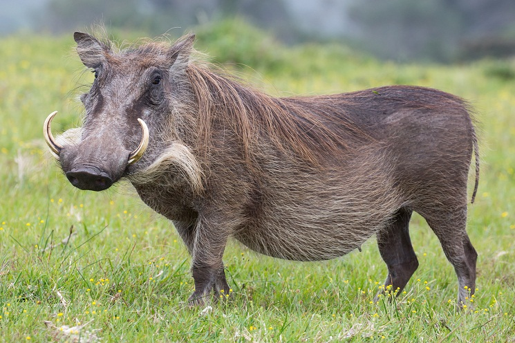 warthog natural history on the net