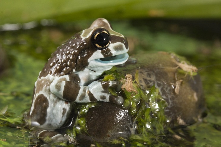 Amazon Milk Frog Natural History On The Net
