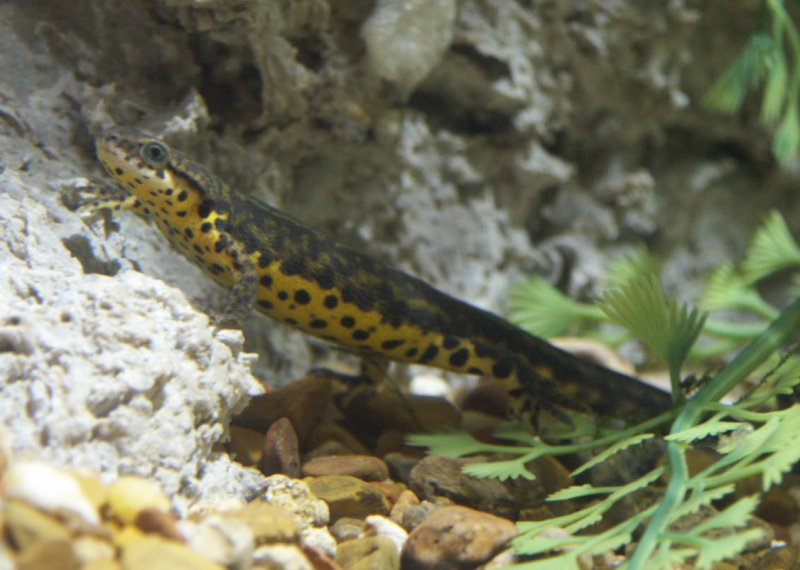 Black Spotted Newt