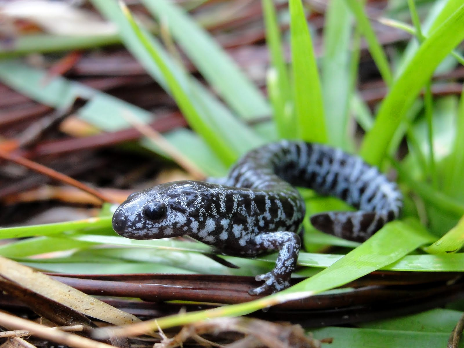 Frosted Flatwoods Salamander