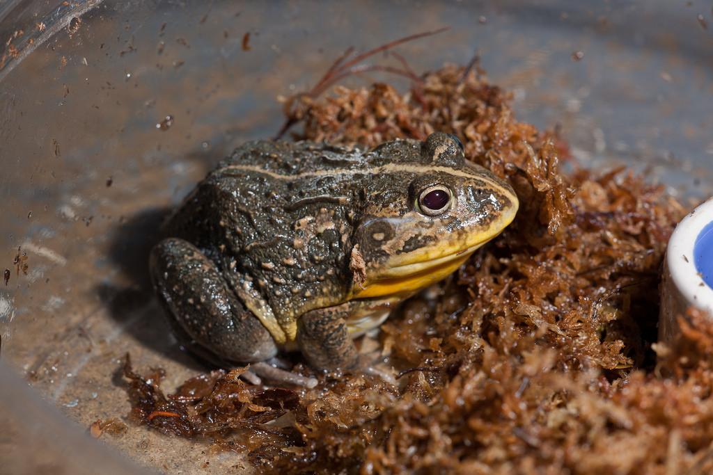 Dwarf Pixie Frog