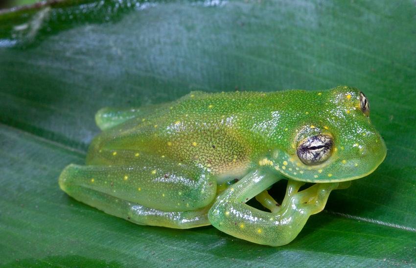 Granular Glass Frog