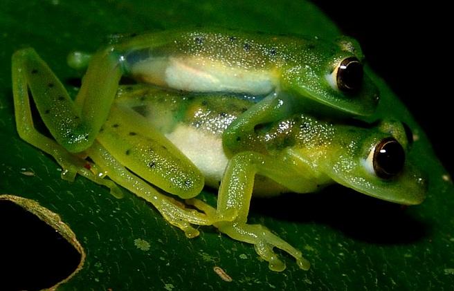 Nicaragua Giant Glass Frog