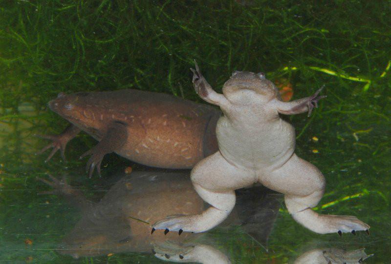 Western Clawed Frog