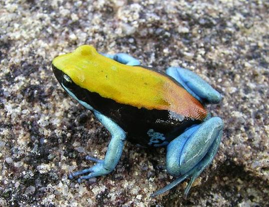 Blue Legged Mantella