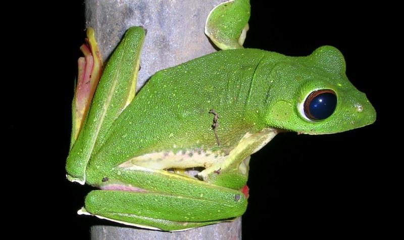 Malabar Flying Frog