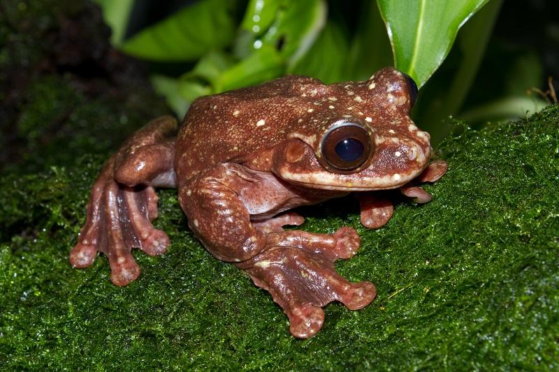 Rabb's Fringe Limbed Tree Frog