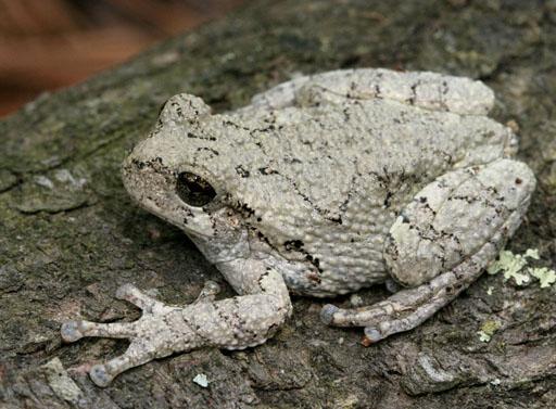 Copes Tree Frog
